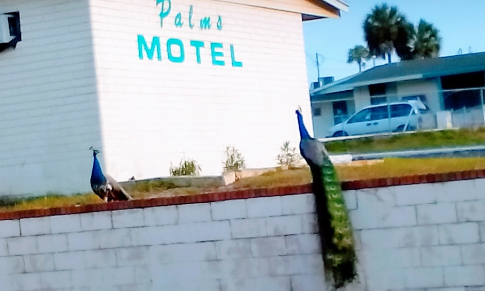 peacocks florida motel