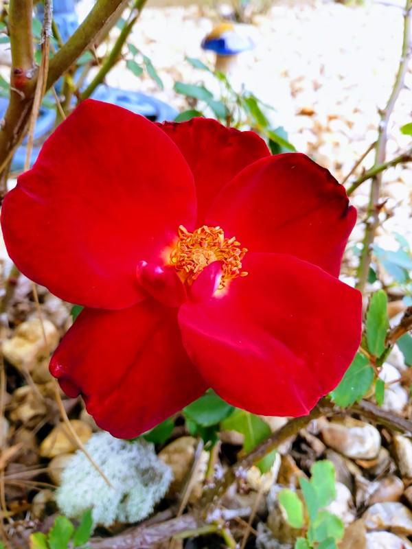 Red Rose IV