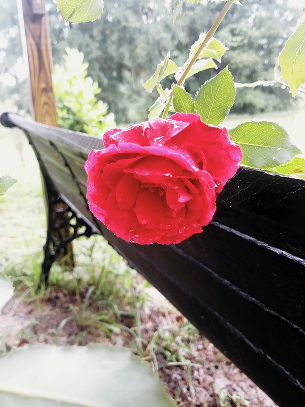 Old Fashioned Rose