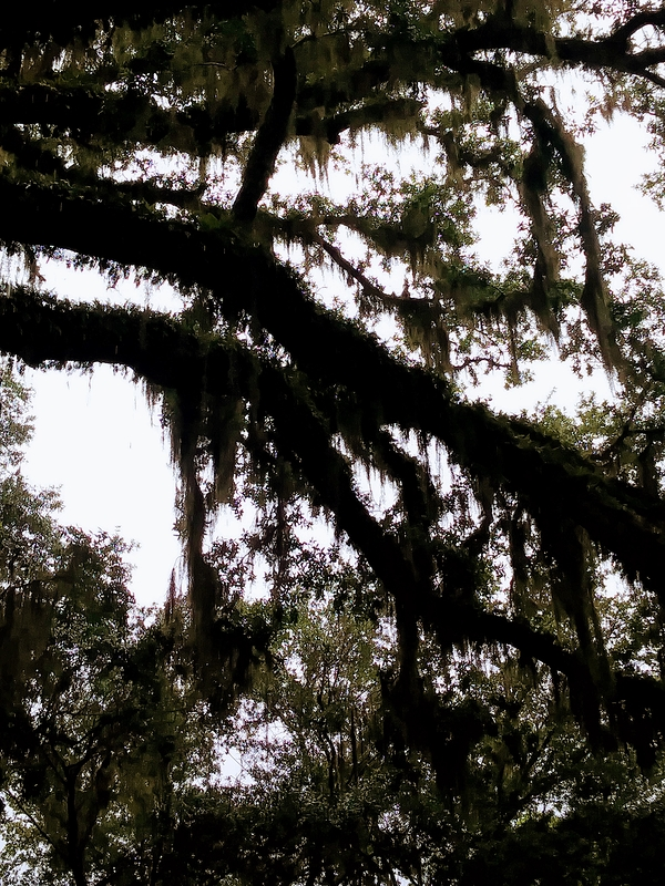 Branches with Spanish Moss