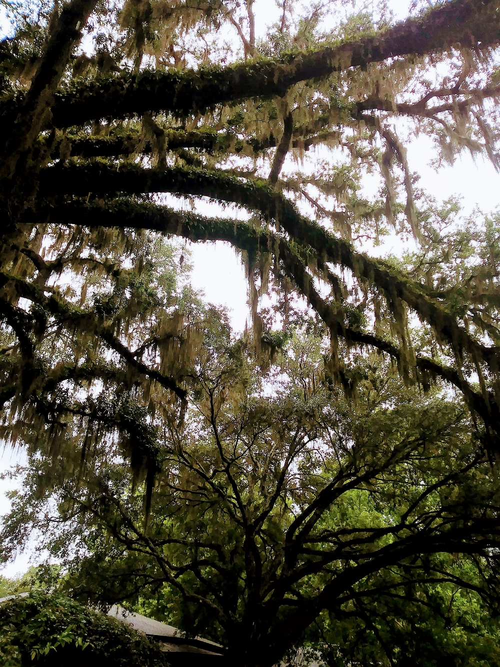 Branches with Spanish Moss II