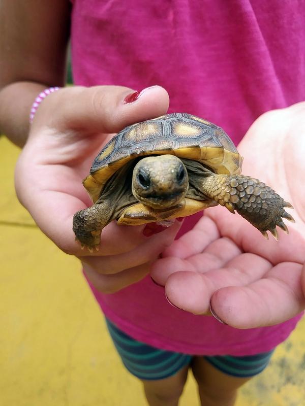 Baby Gopher Tortoise II