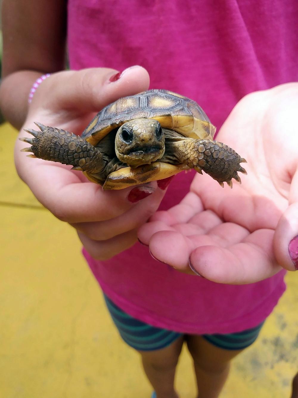 Baby Gopher Tortoise III