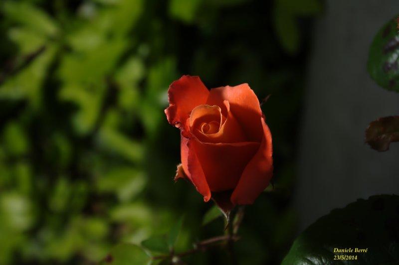 rosa rossa2