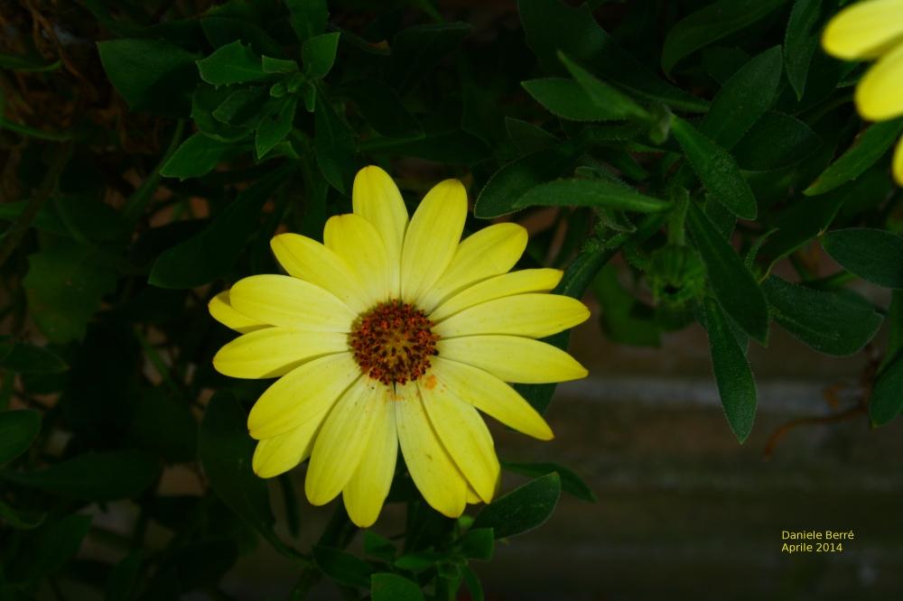 m-gialla