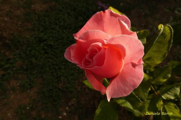 rosa -r