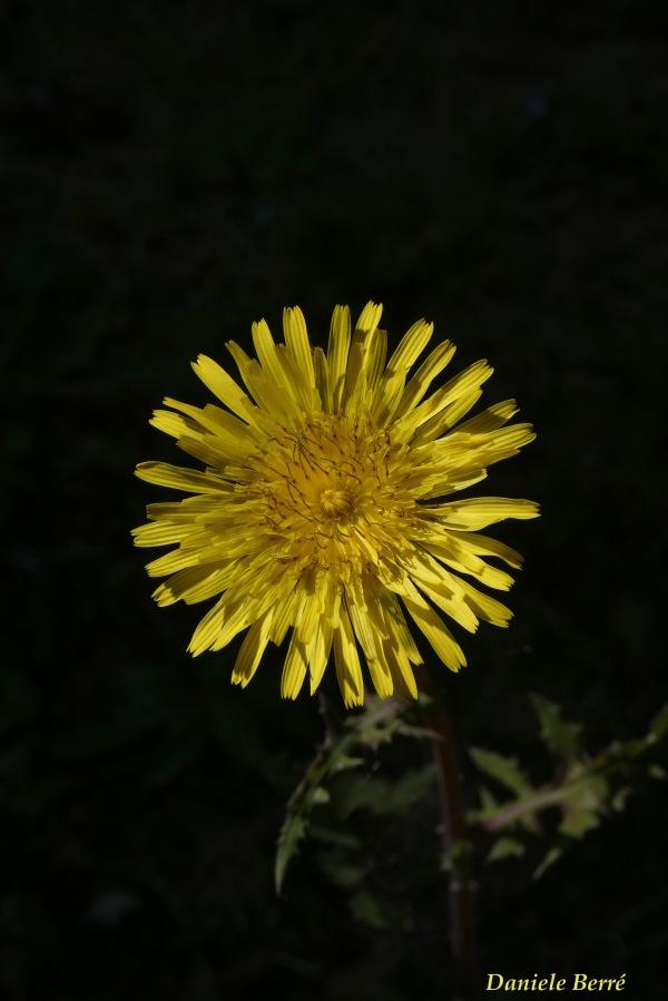 giallo di campo