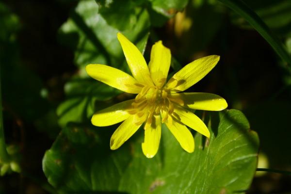 fiore giallo2