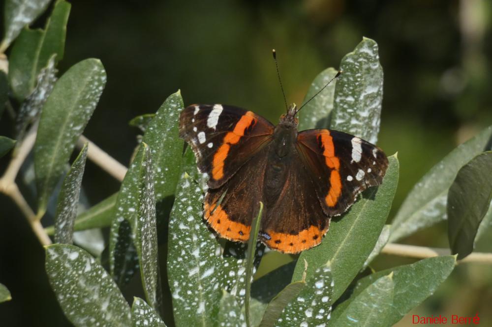 farfalla di Ferragosto