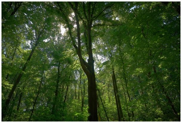 Wolski forest