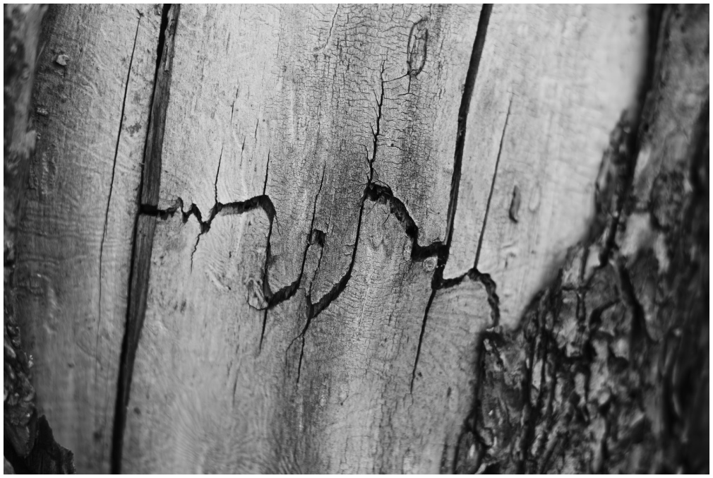 the tree becomes dry, fissured, and cracked [b&w]