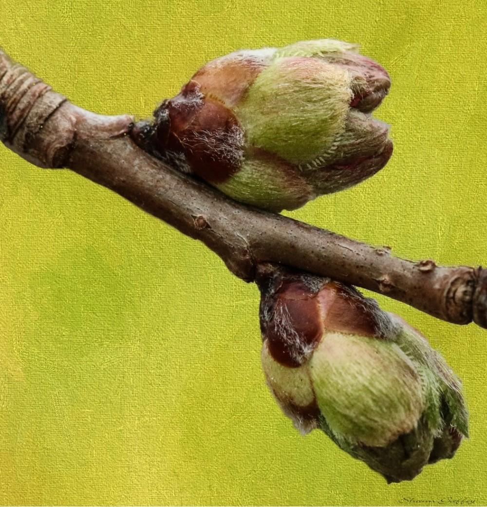 Buds. Fruit Tree.