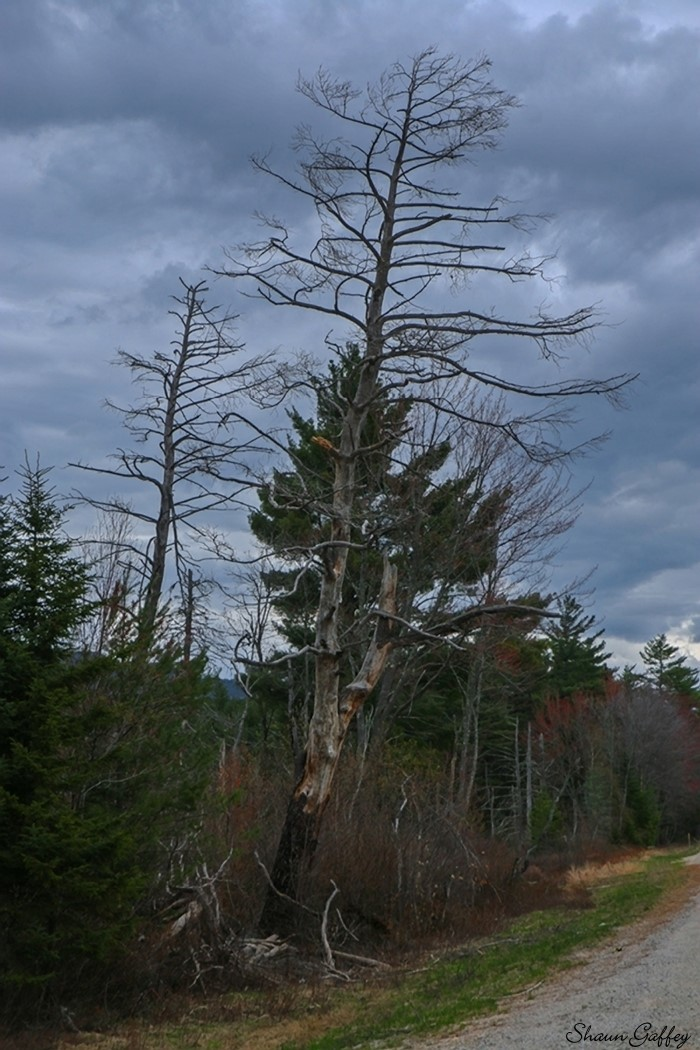 Dead Tree. New Hampshire.
