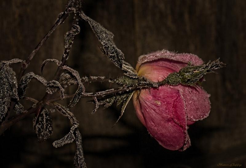 Cold Rose.