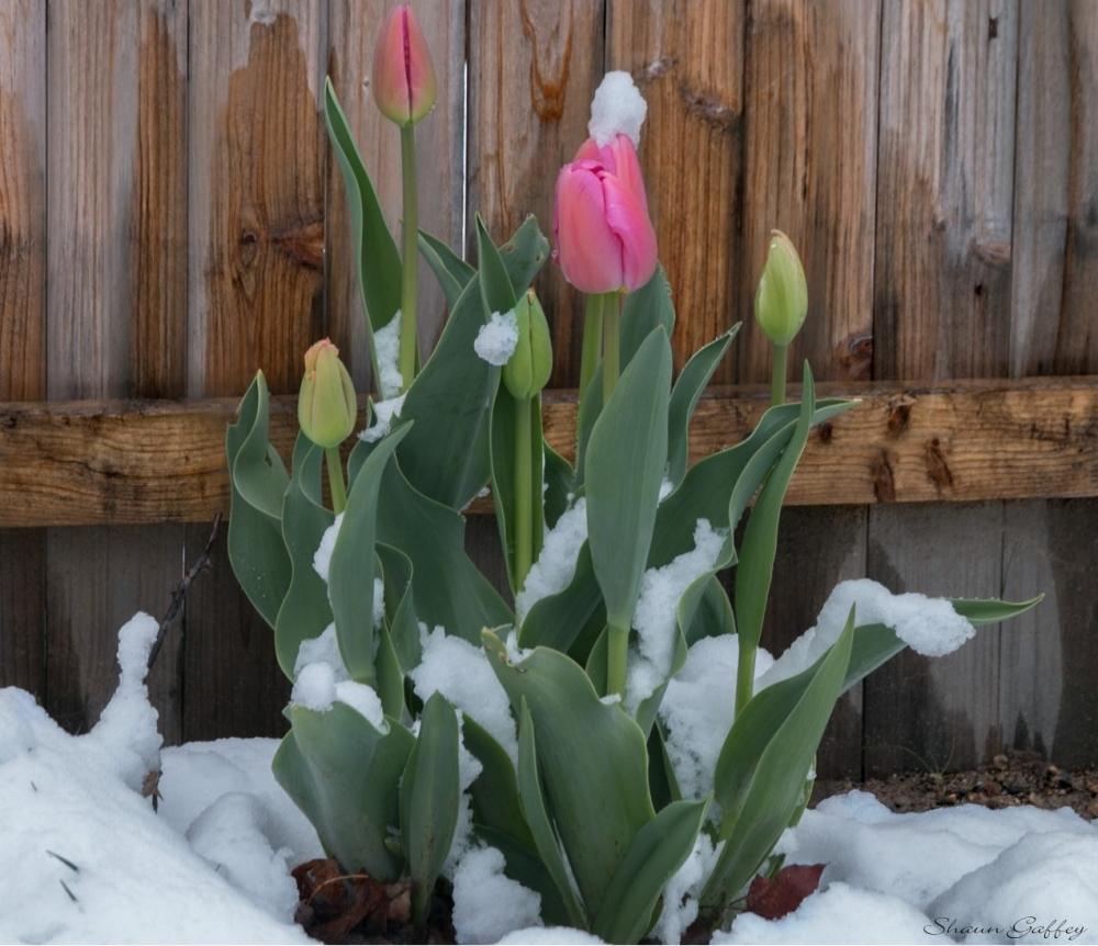 Tulips & Snow.