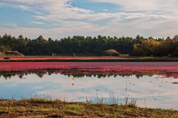 Cranberry Bog. Carver Massachusetts.
