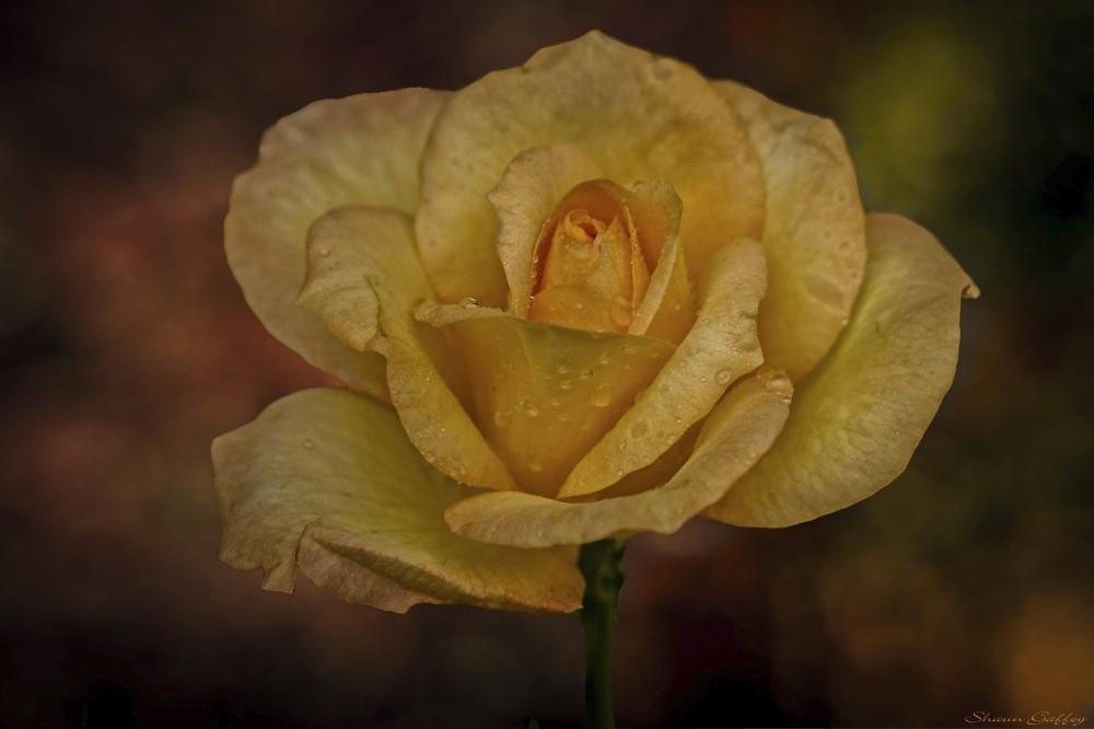 Rose & Rain