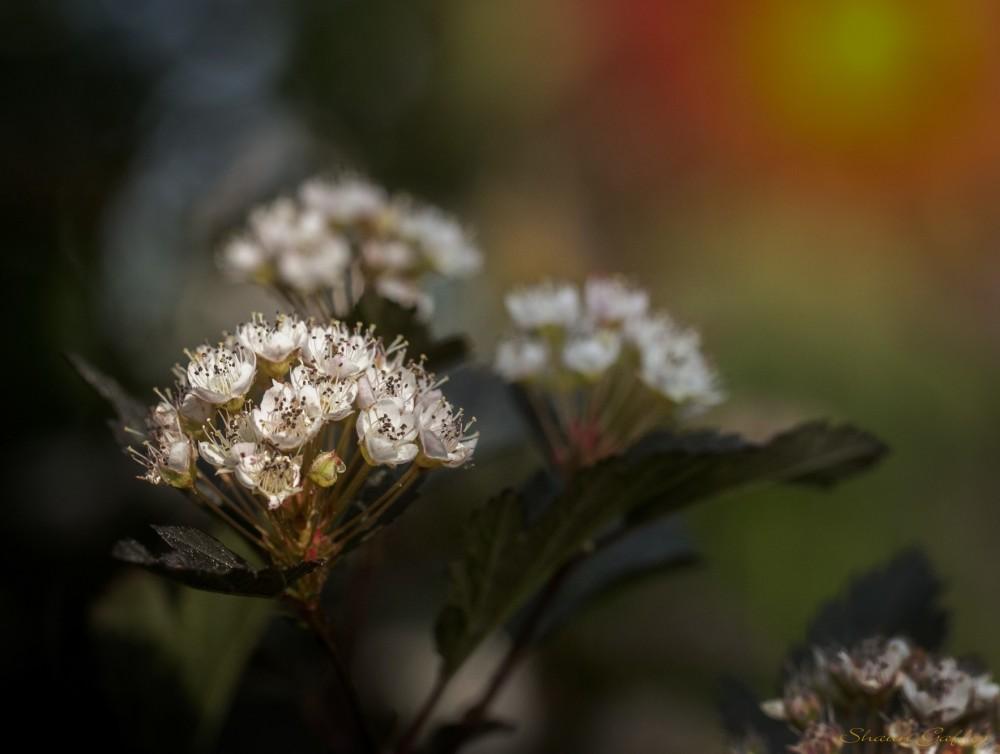 Physocarpus. (Summer Wine)