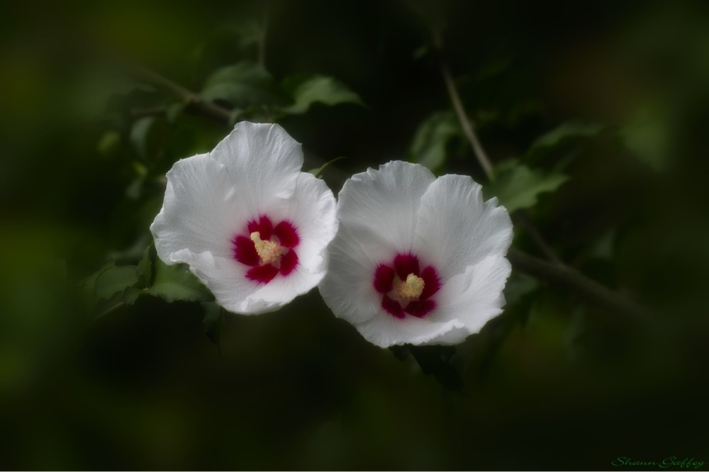 Rose of Sharon.
