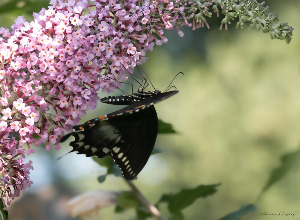 Spicebush Swallowtail. (2)