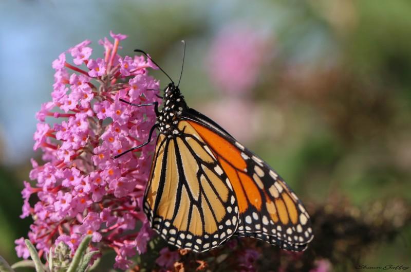 Monarch (2)