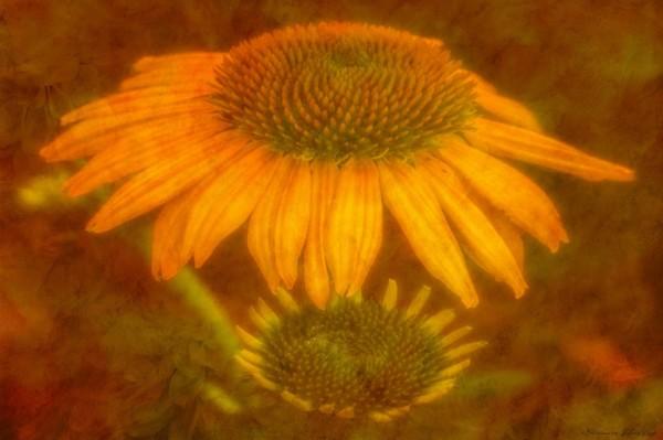 Corn Flower.