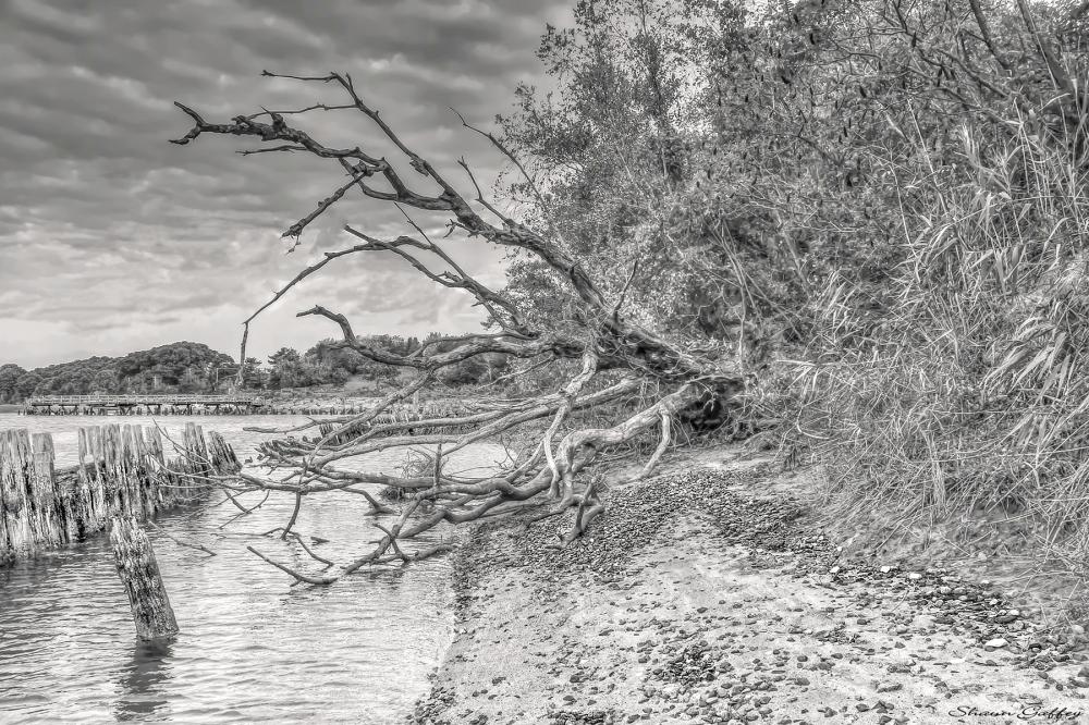 Dead Tree. Scituate Spit Massachusetts.