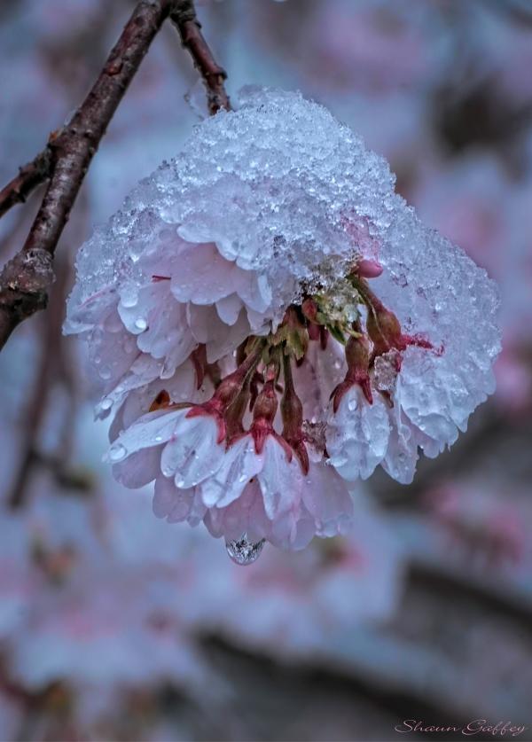 Ice & Blossom