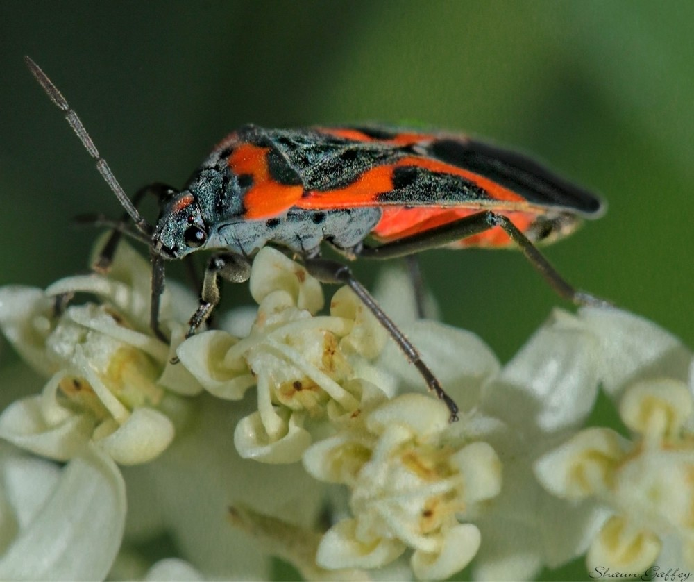Red Fire Bug,