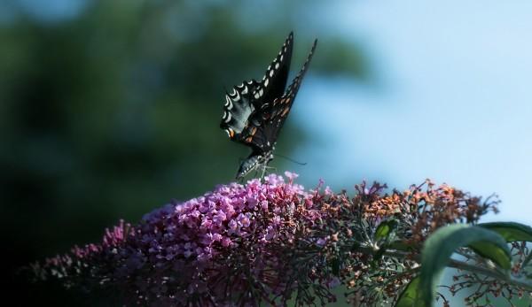 Black Swallowtail Butterfly.