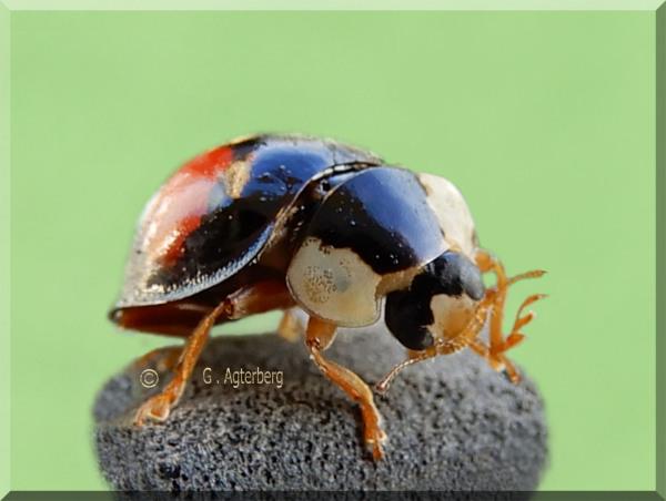 Lieveheersbeestje  (Coccinellidae)