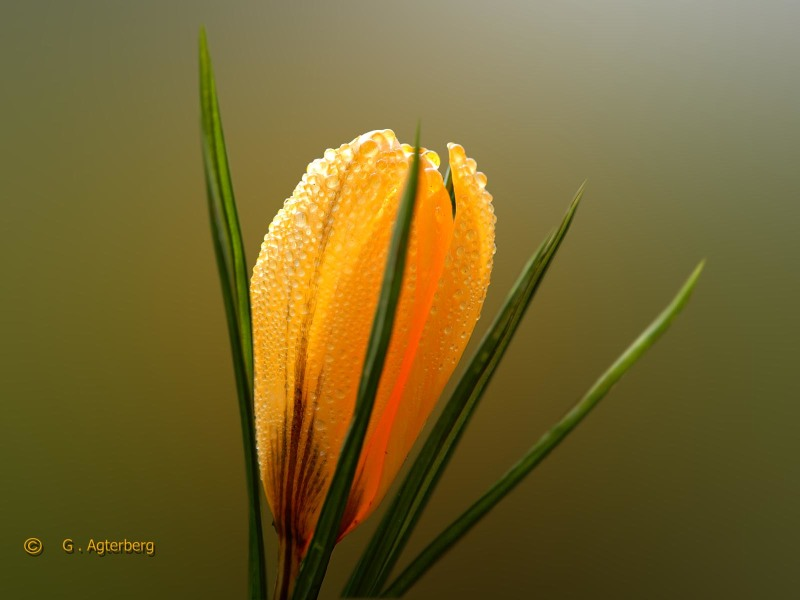 The beauty of the Crocus in the morning .