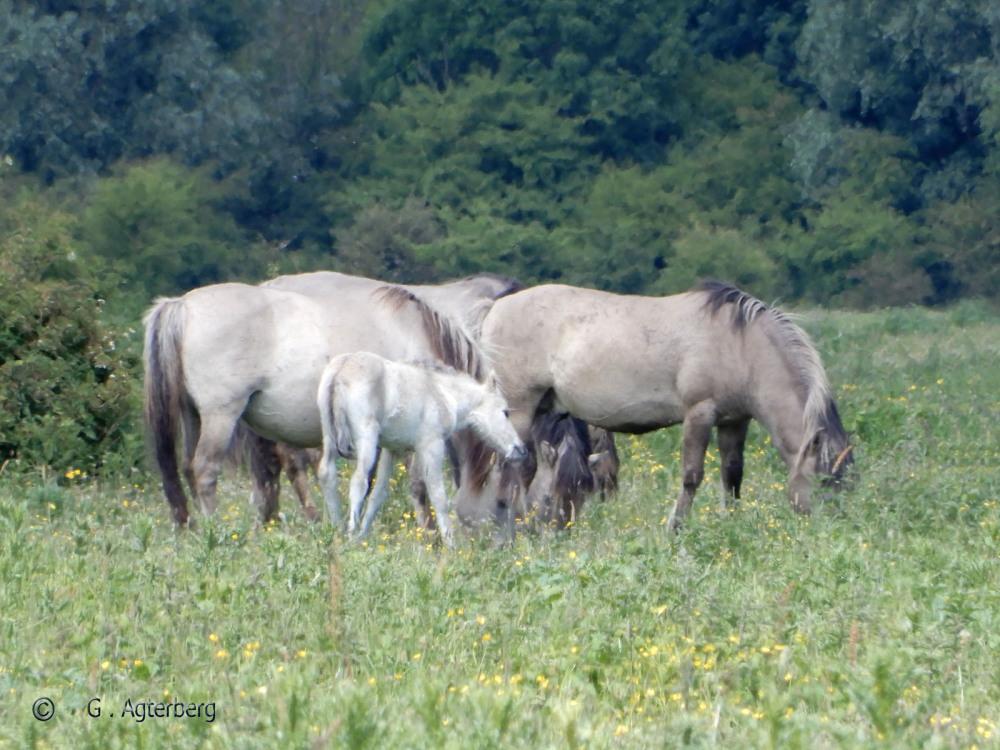 Koninks horses Bleu Room .