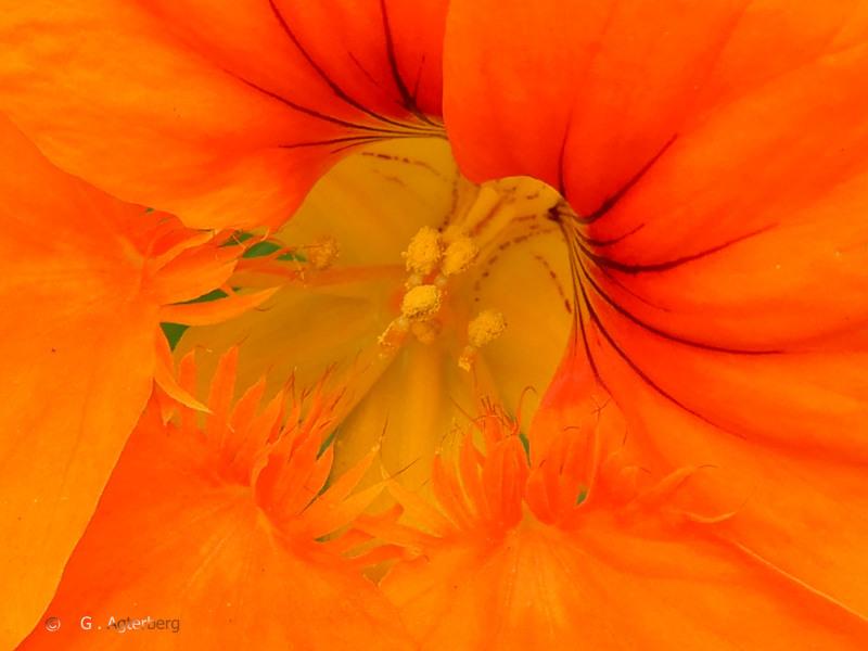 The orange heart .