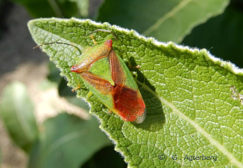 Meidoornschildwants/acanthosoma haemorrhoidale