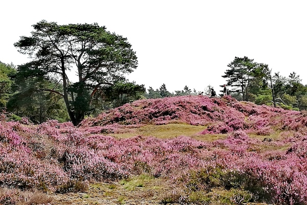 The heather is in bloom. 1