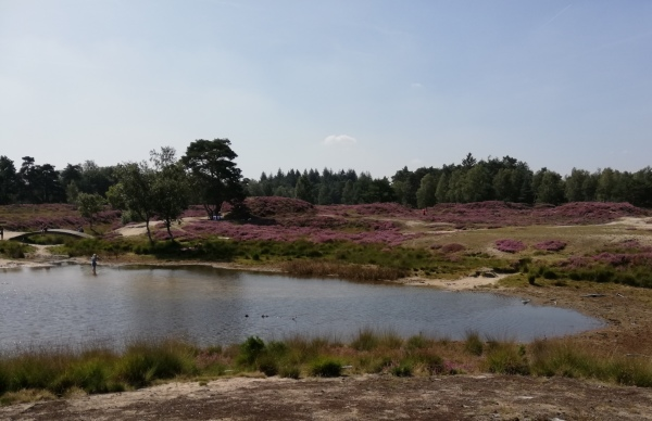 The heather is in bloom. 2