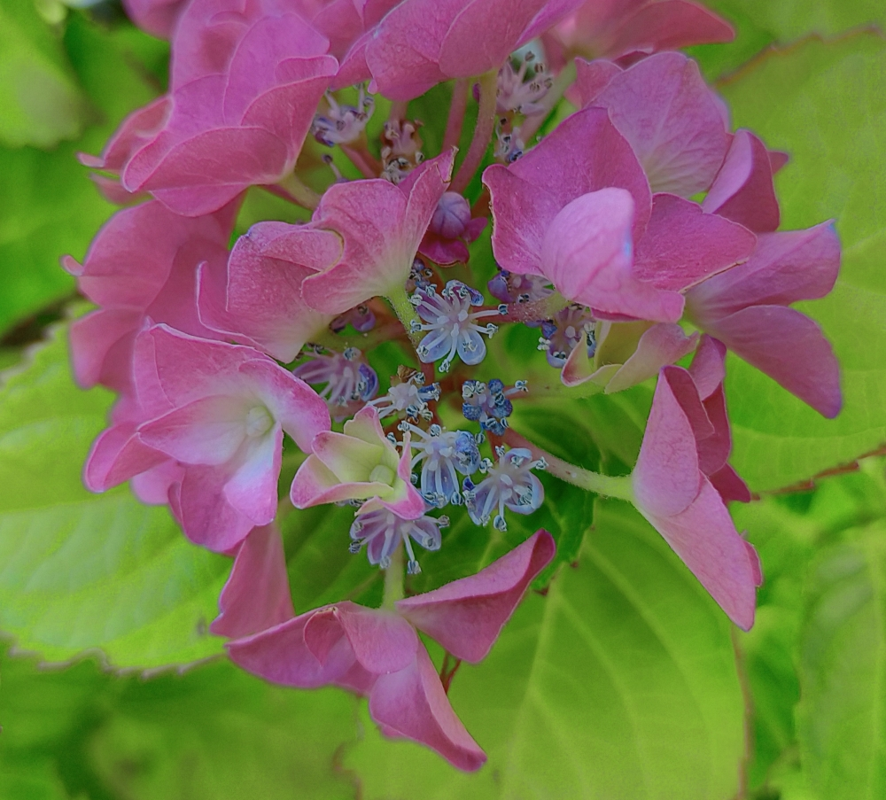 Little blue in the pink Hortensia