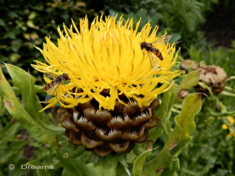 Centaurea macrocephala. 2