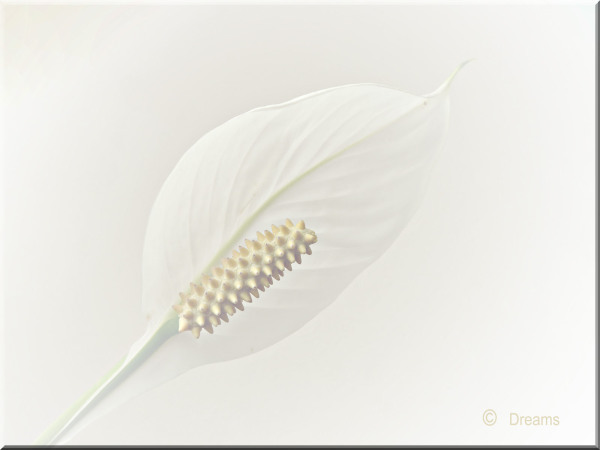 The orginal photo from yesterday . Spathiphyllum .