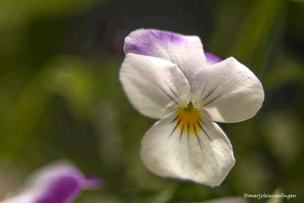 THREE-COLOURED VIOLET
