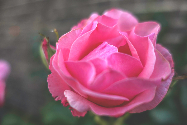 A SIMPLE PINK ROSE
