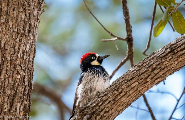 Acorn Woodpecker Mount Lemmon Tucson Arizona