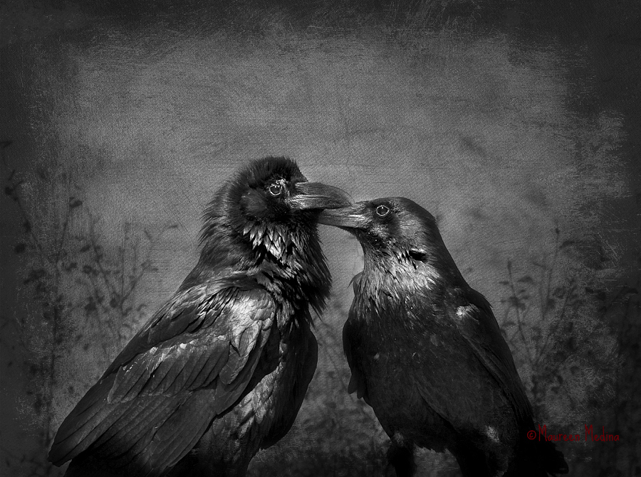 Raven Couple Showing Affection