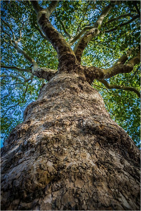 UNDER.THE.SYCAMORE.TREE