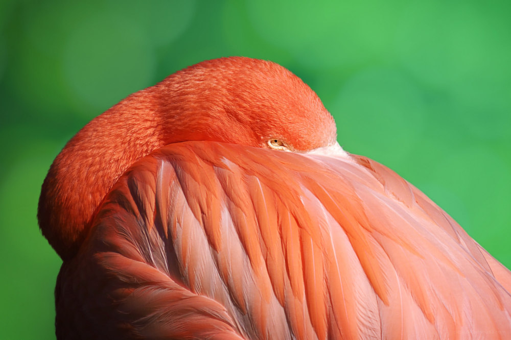 A resting flamingo