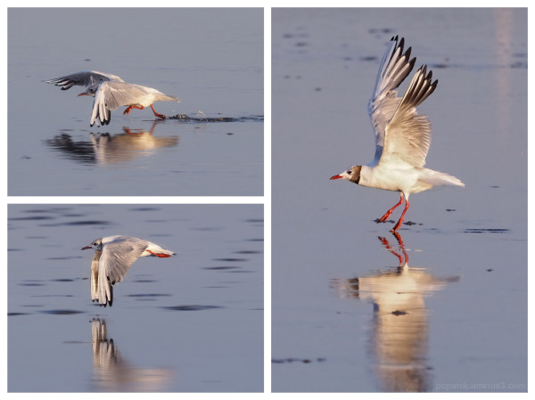 A seagull starting in 3 pictures