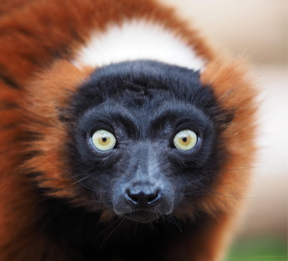 A lemur stares