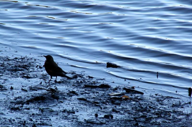 Bird next to water.