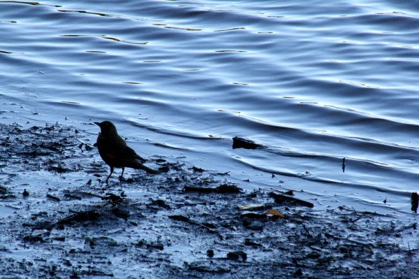 Bird next to water.